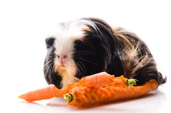 Guinea pig with carrots Royalty Free Stock Photos