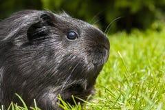 Guinea pig (Cavia porcellus) Stock Photo