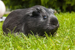 Guinea pig (Cavia porcellus) Stock Photos