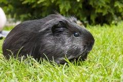 Guinea pig (Cavia porcellus) Stock Images