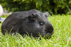 Guinea pig (Cavia porcellus) Royalty Free Stock Photography