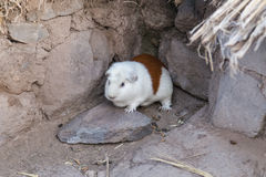 Guinea pig or Cavia porcellus is bred for food in Andes Mountains Royalty Free Stock Images
