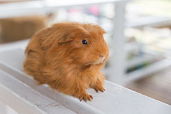 Guinea Pig, Cavia porcellus Royalty Free Stock Photography