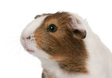 Guinea pig, Cavia porcellus, in front of white background Stock Images