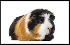 Guinea pig Cavia porcellus, isolated Stock Photo