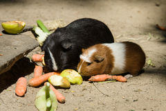 The guinea pig (Cavia porcellus) Royalty Free Stock Image
