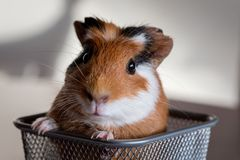 Guinea pig Cavia porcellus. Is a popular household pet Stock Image