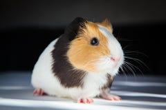 Guinea pig Cavia porcellus Royalty Free Stock Images