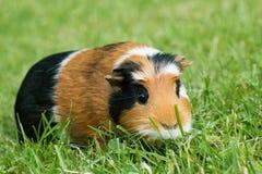 Guinea pig Cavia porcellus Royalty Free Stock Photos