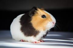 Guinea pig Cavia porcellus Royalty Free Stock Image