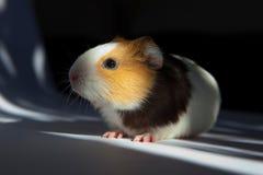 Guinea pig. (Cavia porcellus) is popular household pet Stock Image