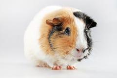 Guinea pig Cavia porcellus Royalty Free Stock Photo