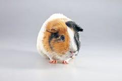 Guinea pig Cavia porcellus Stock Images