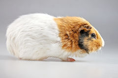 Guinea pig Cavia porcellus Royalty Free Stock Photography