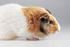 Guinea pig Cavia porcellus Stock Image