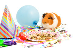 Guinea pig is celebrating his birthday Stock Photography