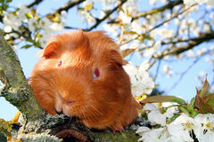 Guinea-pig in a cherry-tree. Red guinea-pig in a white cherry-tree royalty free stock photography