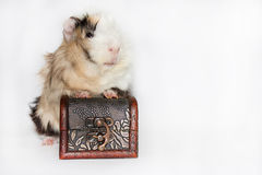 Guinea pig and the chest Stock Image