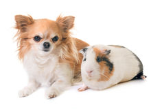 Guinea pig and chihuahua Stock Image
