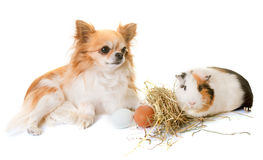 Guinea pig and chihuahua Royalty Free Stock Photos