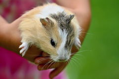 Guinea-pig Stock Photography