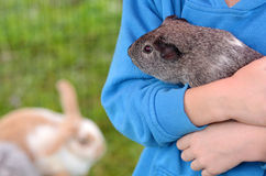 Guinea pig. Child holds Guinea pig in animals farm royalty free stock images