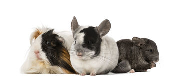 Guinea pig and Chinchillas Royalty Free Stock Photos
