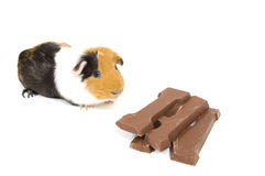 Guinea pig with a chocolate letter Stock Image