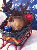 Guinea Pig. Christmas Guinea Pig Royalty Free Stock Images