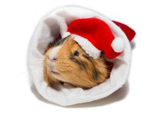 Guinea pig in christmas Royalty Free Stock Photos