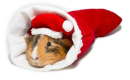 Guinea pig in christmas Stock Photography