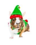 Guinea Pig Christmas Elf Stock Image