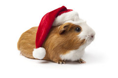 Guinea Pig with Christmas hat Stock Photo