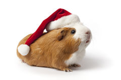 Guinea Pig with Christmas hat Royalty Free Stock Image