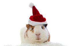 Guinea pig in christmas hat. Isolated on white royalty free stock photos