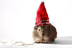 Guinea pig in a Christmas hat. Guinea pig in a red Christmas hat on a white background Royalty Free Stock Image