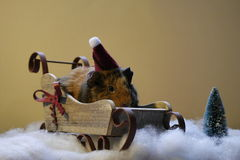 Guinea pig. In Christmas hat, sleigh. With fake snow and plastic tree Royalty Free Stock Photography