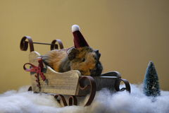 Guinea pig. In Christmas hat, sleigh. With fake snow and plastic tree Stock Images