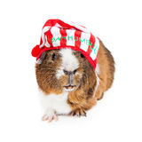 Guinea Pig Christmas Scrooge. Cute and funny guinea pig wearing a Christmas pajama night cap that says Bah Humbug Royalty Free Stock Photography