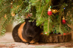 Guinea-pig at Christmas tree. Guinea-pig sitting at  Christmas tree decorated with colorful baubles Stock Photography