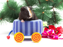 Guinea pig. Christmas guinea pig on white background Stock Photography