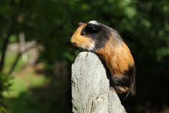 Guinea pig climbing Royalty Free Stock Photo
