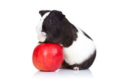 Guinea pig climbing on a red apple Royalty Free Stock Images