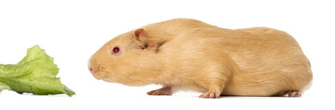 Guinea pig close to eat a leaf of salad ,  Royalty Free Stock Photos
