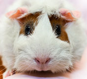 Guinea Pig Close Up Royalty Free Stock Images