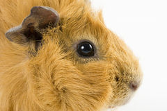 Guinea pig closeup Royalty Free Stock Images