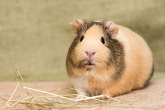 Guinea pig closeup Royalty Free Stock Photo