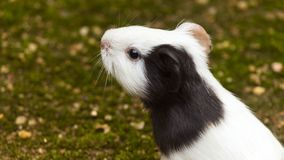 Guinea pig closeup stock photography
