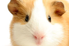 Guinea pig closeup over white. Guinea pig - a highkey closeup with focus on the eyes, shot over white Stock Photos