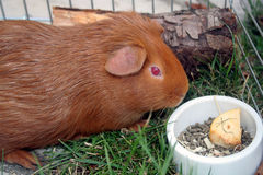 Guinea-pig or cobaye. A russet-red guinea-pig is eating stock photo
